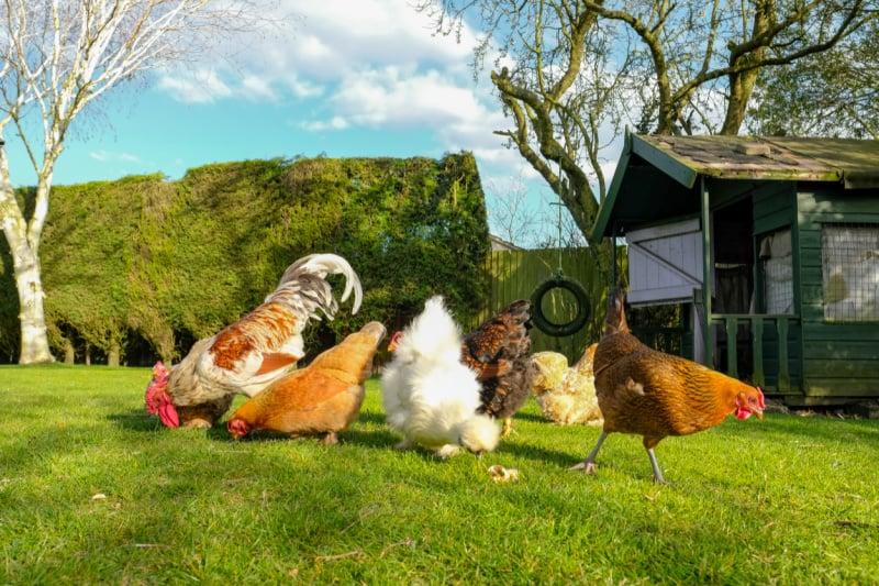 Chickens on green grass