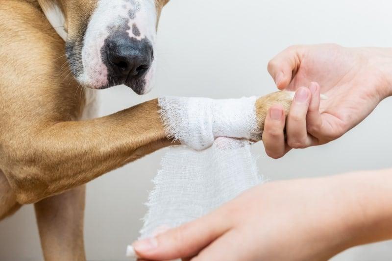 Dog getting leg bandaged with gauze