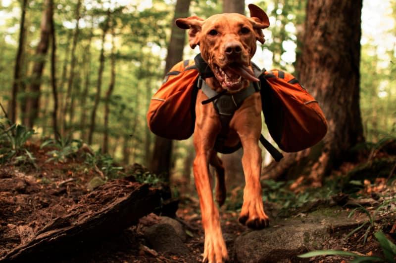 Dog hiking with orange saddlebags