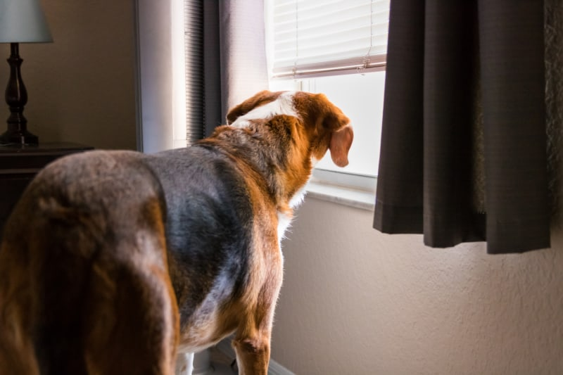A Beagle mix hound dog is standing indoors by a big window with the curtaain and shutters open. The dog is looking through the window and into the outdoors.