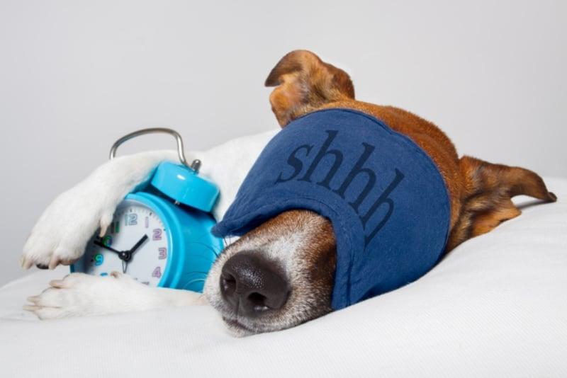 Dog sleeping with eye mask on and holding alarm clock