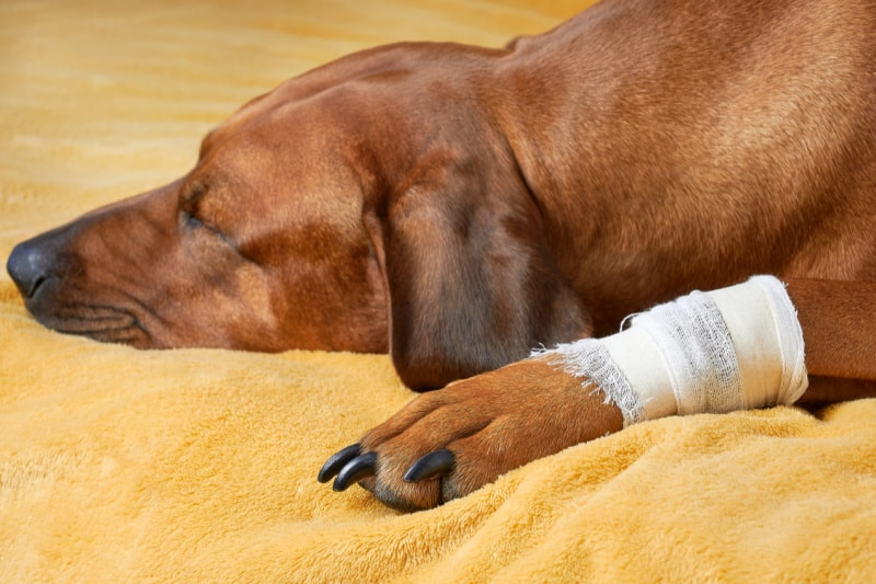 Large brown dog with white bandage on his leg