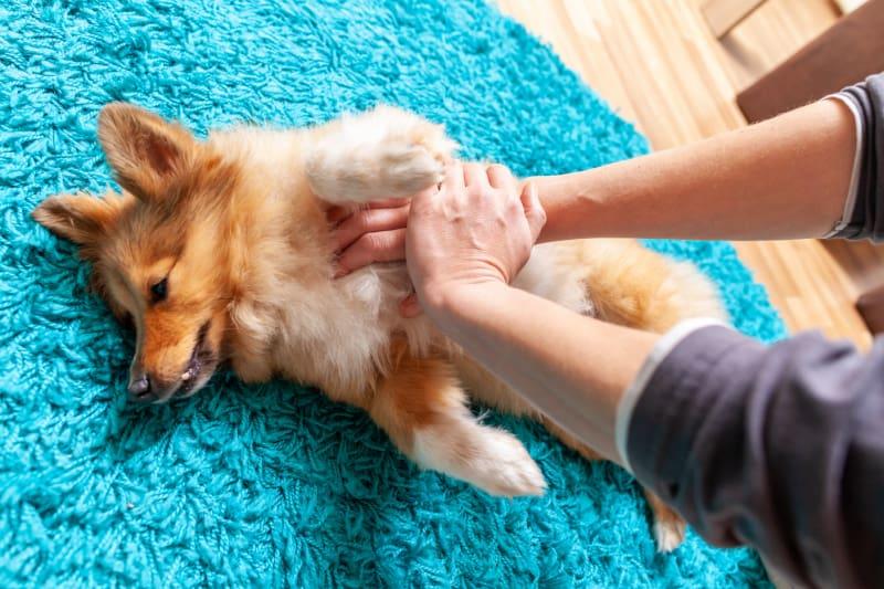 First aid reanimation on a small shetland sheepdog