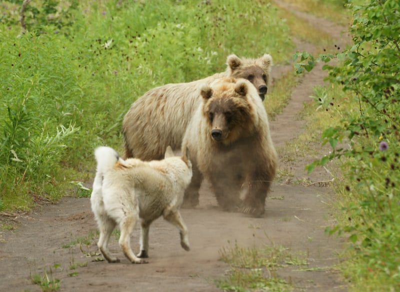 White Dog approaching and barking at two bears