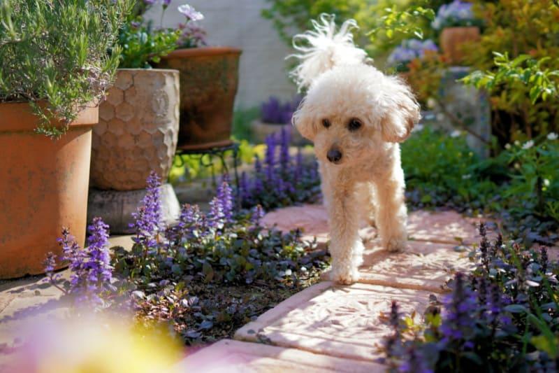 White poodle walking beside pretty flowers