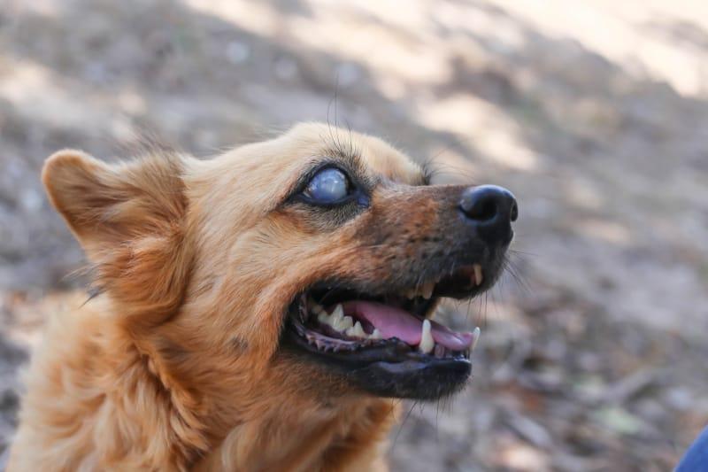 Blind brown dog