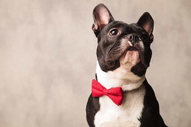 Boston Terrier with a red bow tie