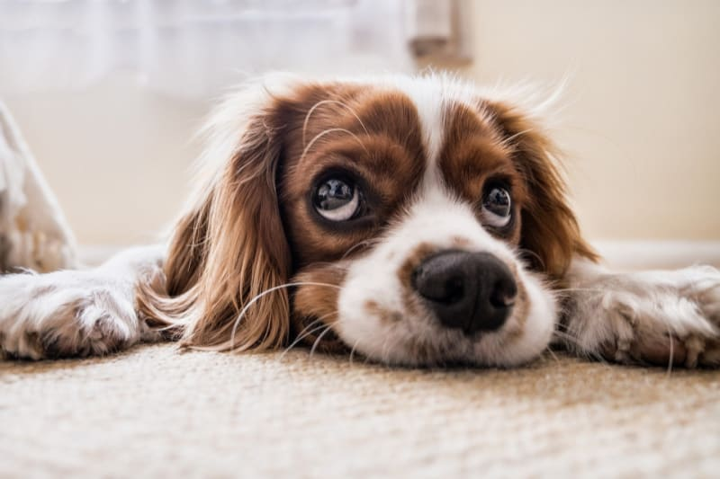 A Cocker Spaniel dog laying on the floor