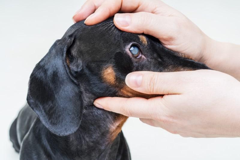 Veterinarian examine on the eyes of a dog dachshund.