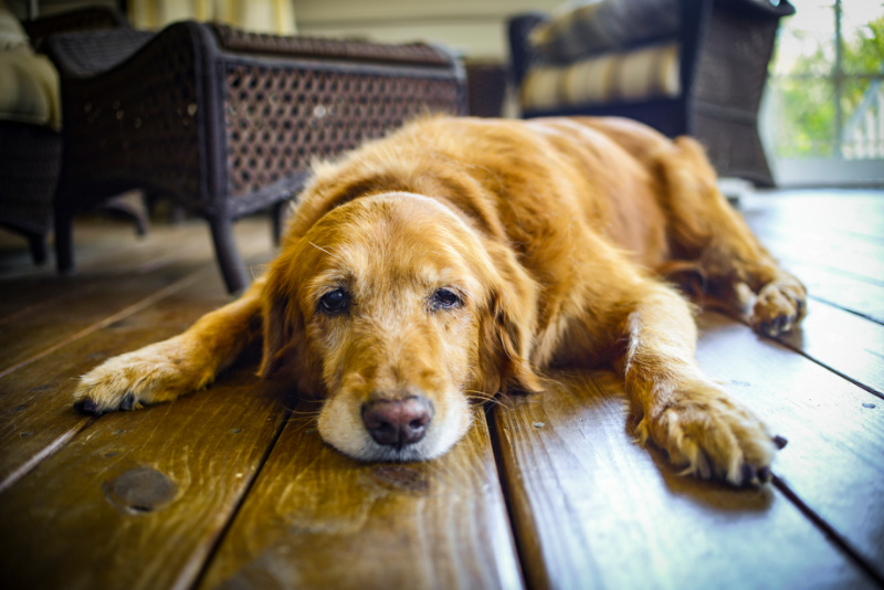 Old dog laying on the floor