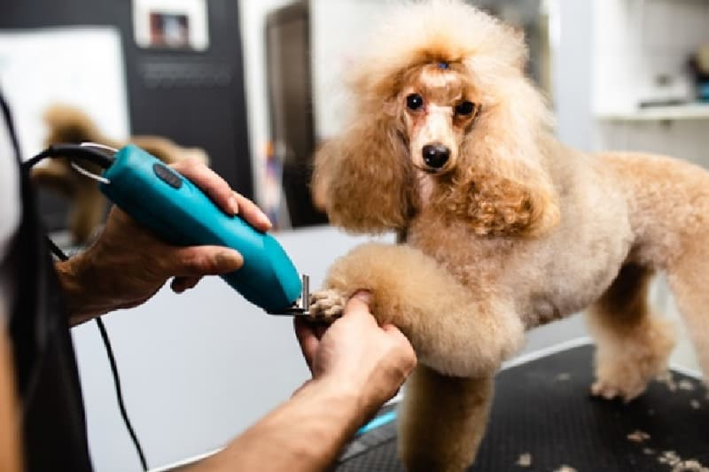 Poodle getting their nails done