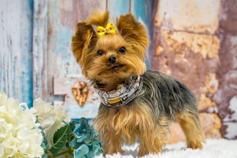 Portrait of a small Yorkie dog
