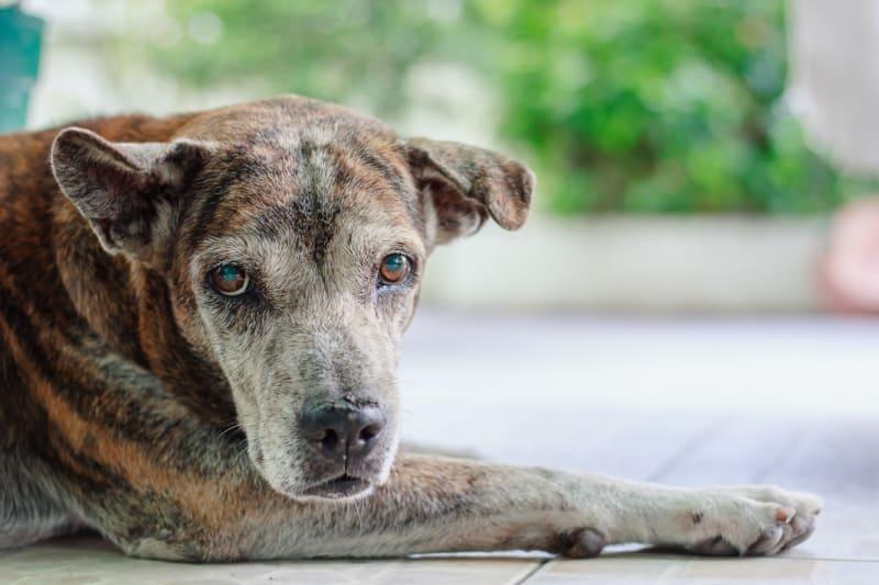 Sad looking sick senior dog
