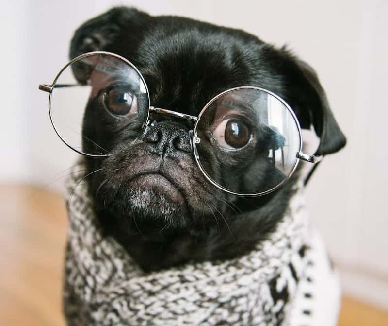Small black dog with glasses and a scarf