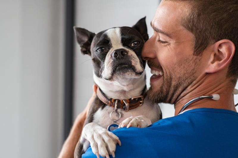 Smiling vet in blue uniform cuddling boston terrier breed dog.