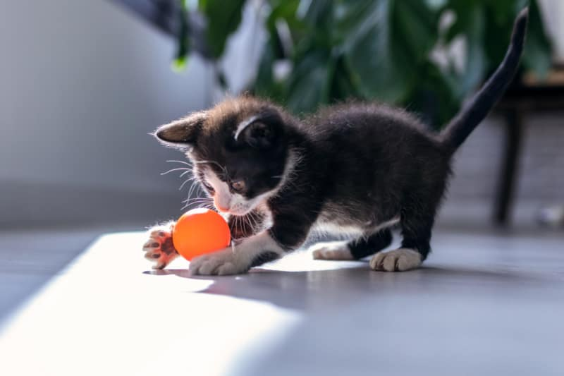 Young black and white kitten playing with an orange ball