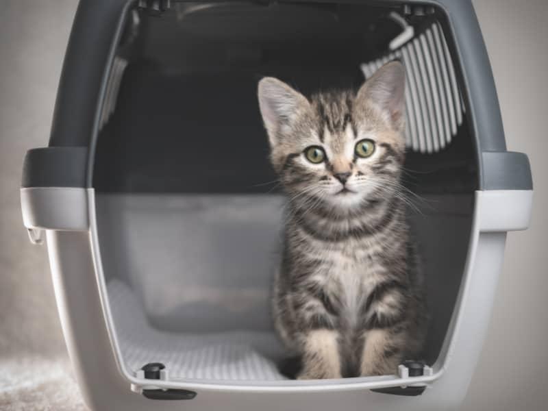 Tabby kitten in a Pet Travel Carrier.