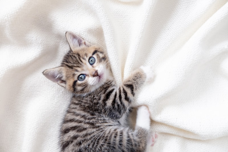 Young gray striped kitten laying on a white sheet
