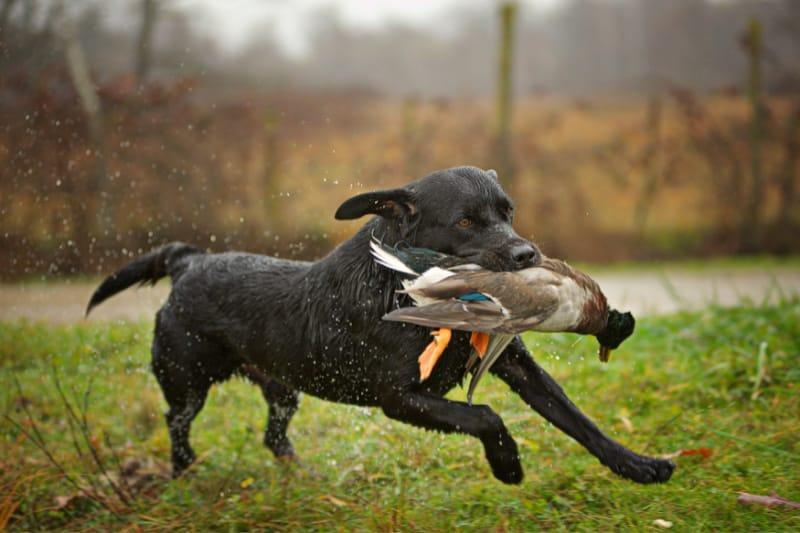 Black Labrador Retriever fetching a duck during a hunt