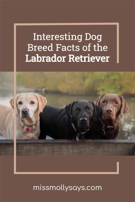 Interesting Dog Breed Facts of the Labrador Retriever