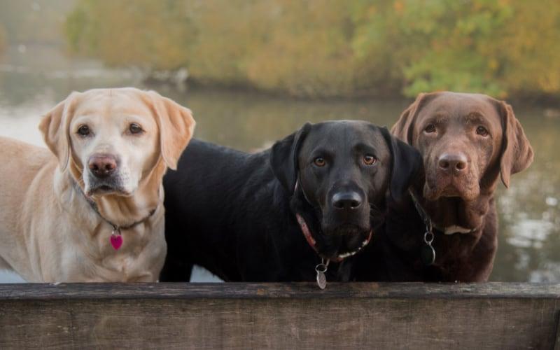 Labrador Retrievers in black, chocolate, and yellow