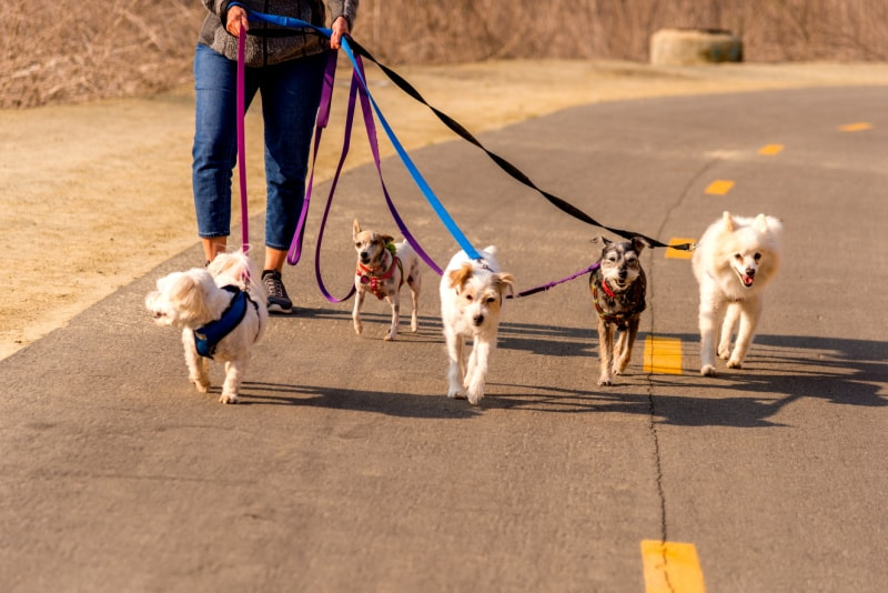 Woman walking several small dogs on leashes