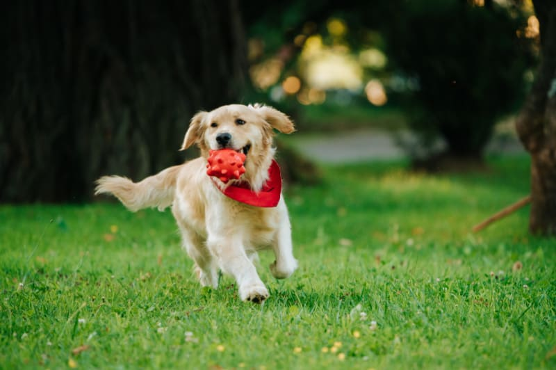 Happy dog running with a red ball in his mouth