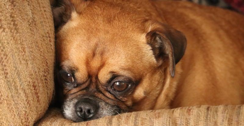 Sad senior pug